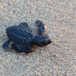 sea-turtle-release